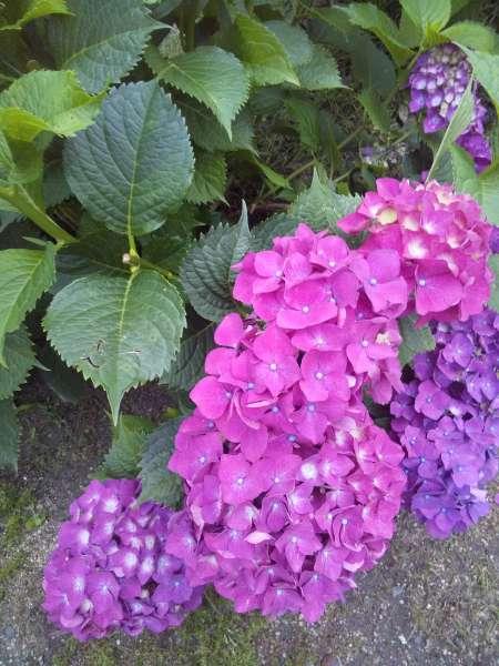 紫陽花 赤紫